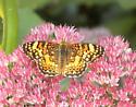 orange butterfly - Phyciodes mylitta - female