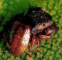 Jumping Spider - Sassacus cyaneus