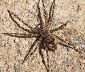 Spider - Dolomedes tenebrosus