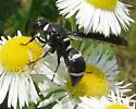 Wasp - Euodynerus megaera - female
