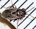 Which Big-eyed Bug? - Geocoris bullatus