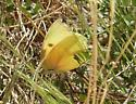 Big yellow butterfly seen near Tucson! - Zerene cesonia