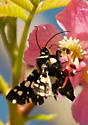 Unknown black and white spotted moth - Thyris sepulchralis