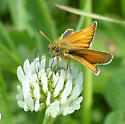 Waterton Lakes Skipper - Thymelicus lineola - male