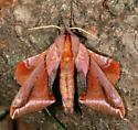 Huckleberry Sphinx - Paonias astylus