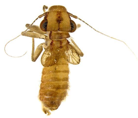 Psocid - Rhyopsocus quercus