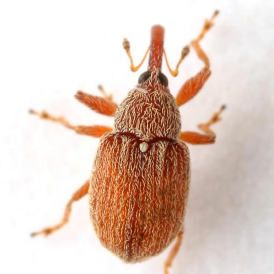 Pseudanthonomus tomentosulus Dietz - Pseudanthonomus tomentosulus