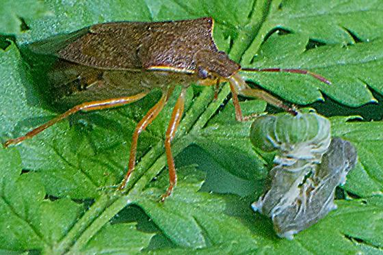 Podisus brevispinus
