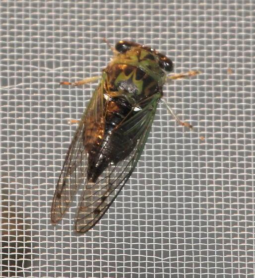 Eastern Scissors Grinder Cicada - Neotibicen winnemanna