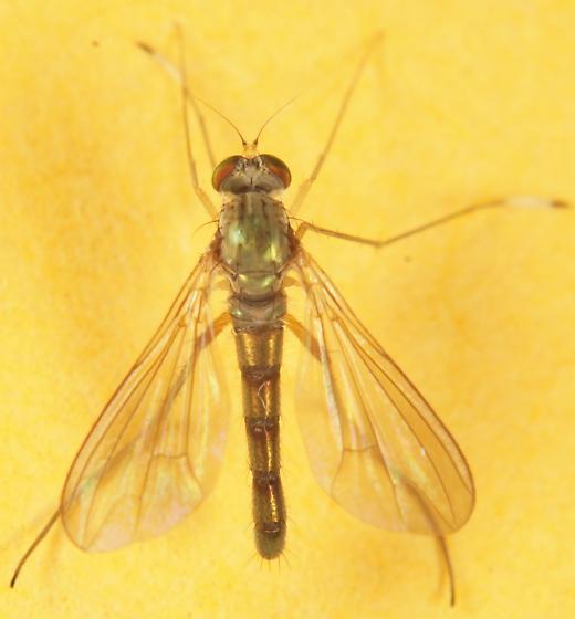 Dolichopodidae? - Sciapus platypterus - male