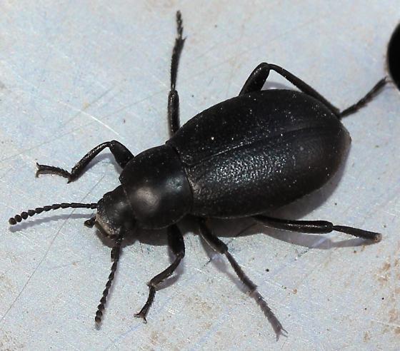 Tenebrionidae - Eleodes