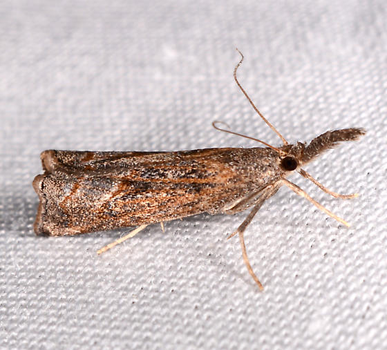 Neodactria - Neodactria luteolellus