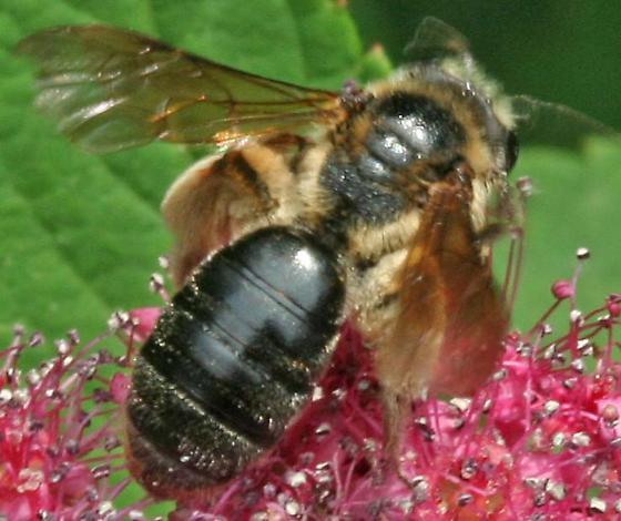 Bee26b - Andrena crataegi