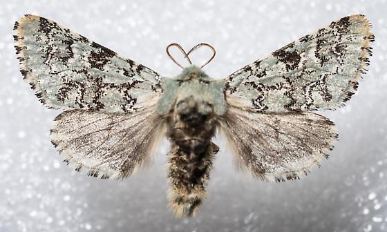 Feralia major - male
