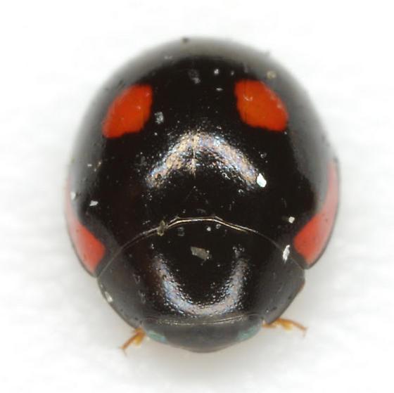 Hyperaspis lateralis Mulsant  - Hyperaspis lateralis - female