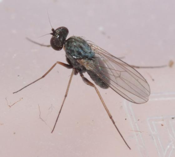 Small Fly - Medetera - female
