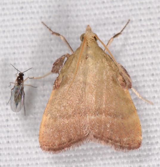 Condylolomia participalis