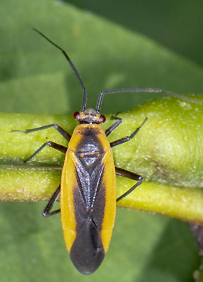 Miridae ID request - Lopidea