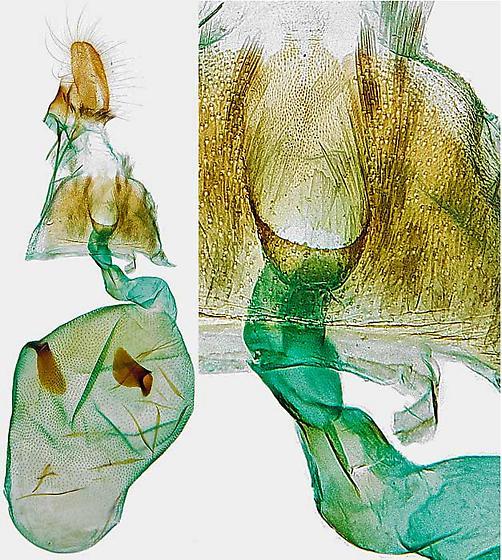 genitalia - Pseudexentera oregonana - female