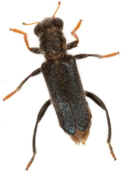 Phyllobaenus longus? - Phyllobaenus