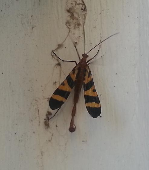 Flying Scorpion Tail - Panorpa nuptialis - male