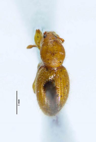 small weevil... - Barypeithes pellucidus