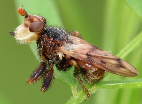thick-headed fly - Myopa vicaria