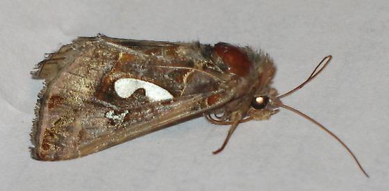 Dying moth  - Megalographa biloba