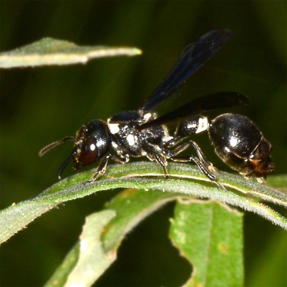 Zethus - Zethus spinipes