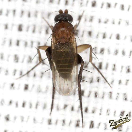 Scuttle Fly - Chaetopleurophora - male