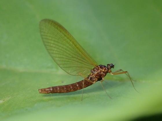 Washington Mayfly - Neoleptophlebia