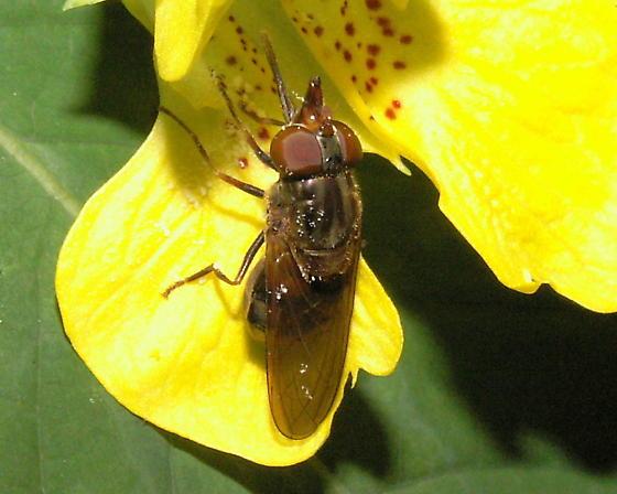 Fly - Rhingia nasica - female