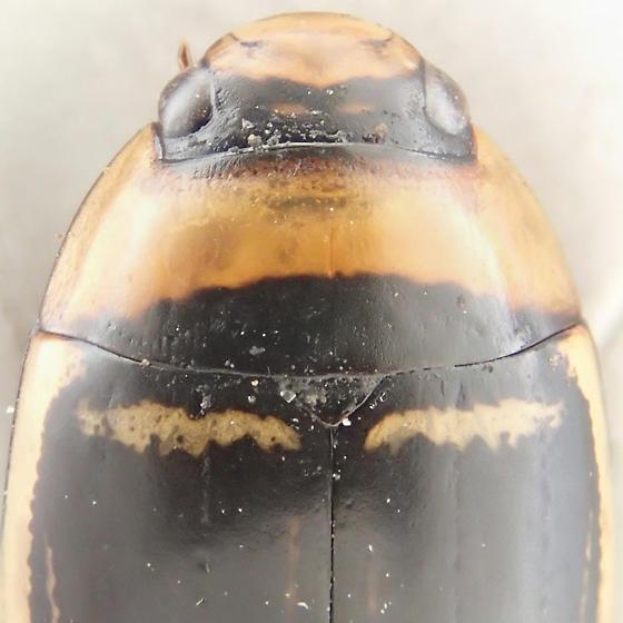 Beetle - Hydaticus aruspex - male