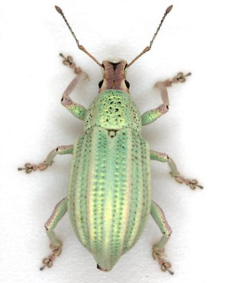 Compsus auricephalus (Say) - Compsus auricephalus