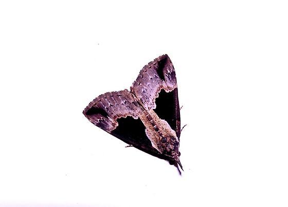 Moth Id - Hypena baltimoralis