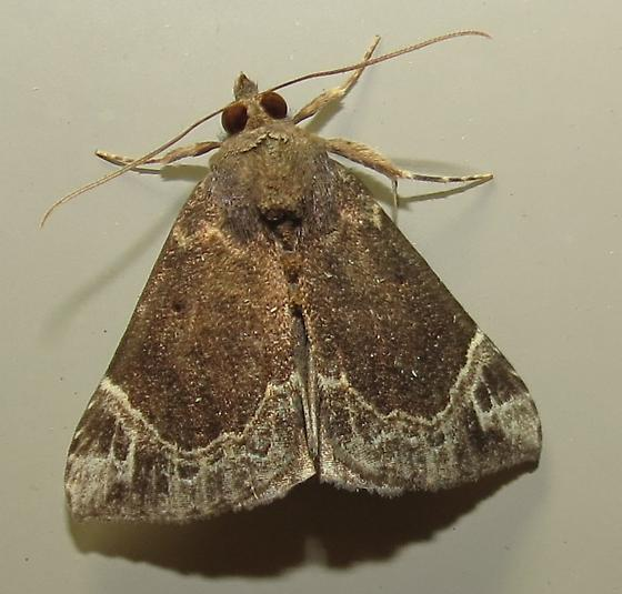 moth - Hypena abalienalis