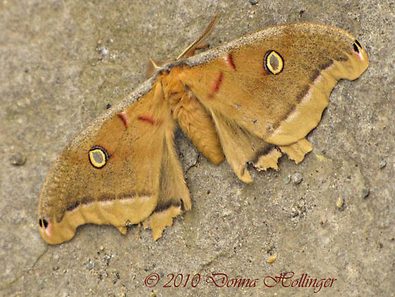 Yellow Fuzzy Moth - Antheraea polyphemus
