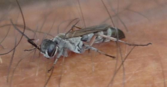 Wasp of some sort? - Aporinellus taeniatus