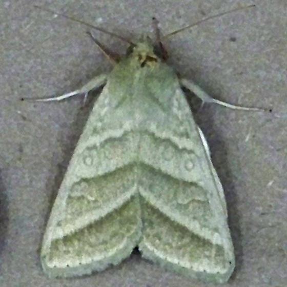 unknown small moth - Chloridea virescens