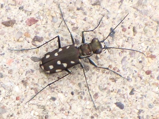 Id help needed. - Cicindelidia sedecimpunctata