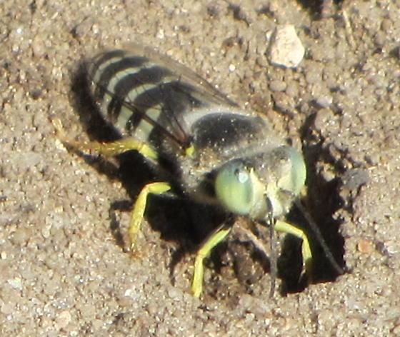 Green-eyed Syrphidae - Bembix