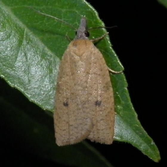 On Walnut or ash - Sparganothoides machimiana