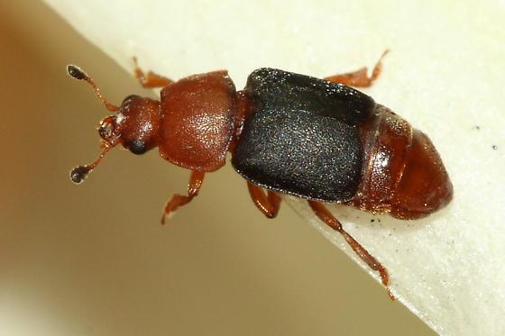 Yucca Nitidulid - Carpophilus melanopterus