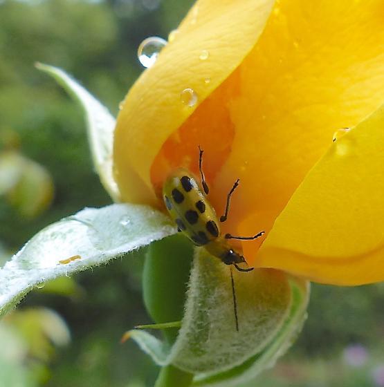 What bug? - Diabrotica undecimpunctata