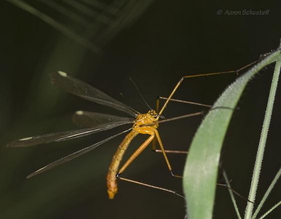 CA Hanging Fly 2 - Bittacus chlorostigma - male