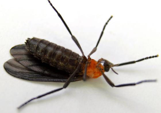 Love Bug - Plecia americana - female