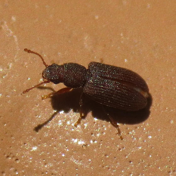tiny beetle - Berginus pumilus