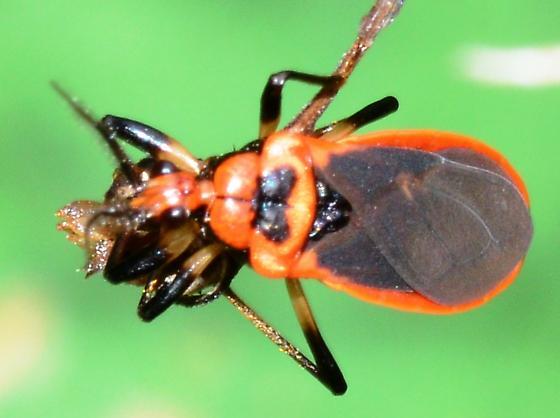 Bee Assasin? - Rhiginia cruciata