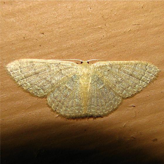 Pleuroprucha insulsaria - Hodge's #7132 - Pleuroprucha insulsaria - female