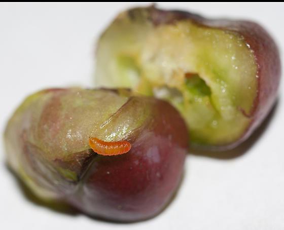 Jewelweed Gall larva - Schizomyia impatientis